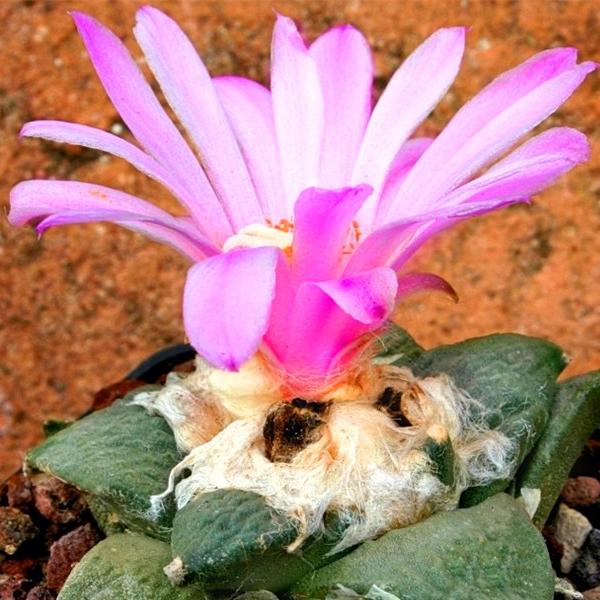 cactus ariocarpus bravoanus