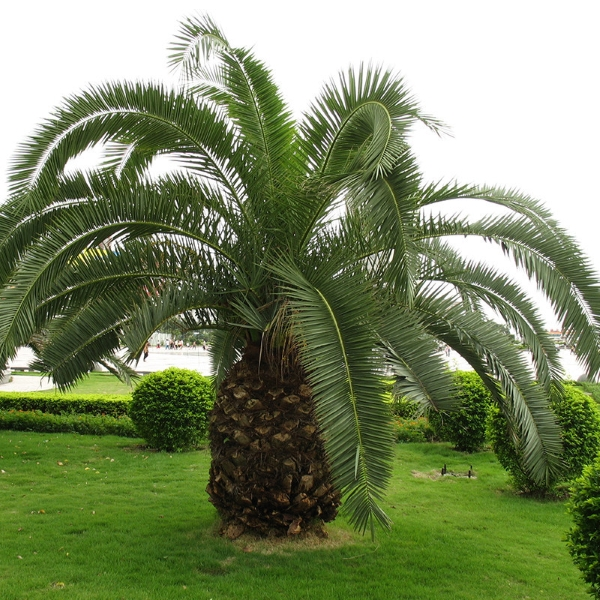 cycas du japon x5 graines ravissant jardin. Black Bedroom Furniture Sets. Home Design Ideas