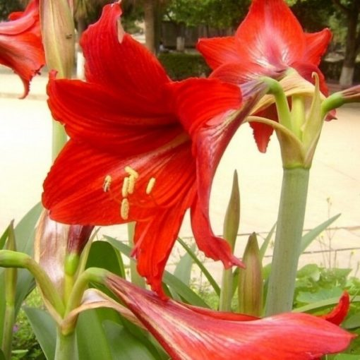 Fleur de Amaryllis Barbados Lilly