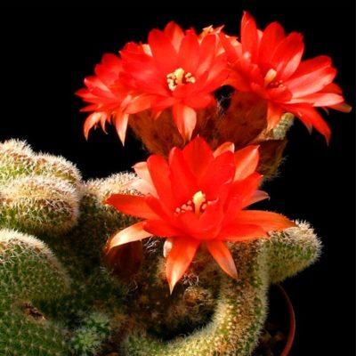 Cactus Strombocactus disciformis