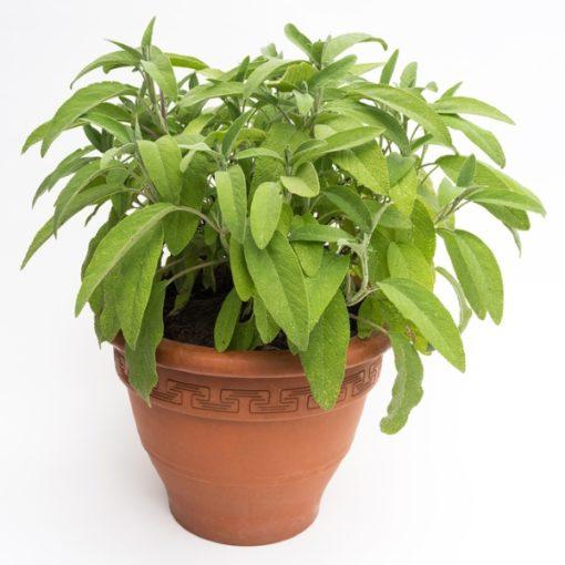 Salvia Hispanica Chia