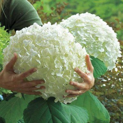 Hortensia blanche