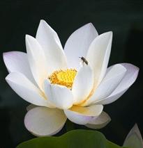 Lotus Sacré