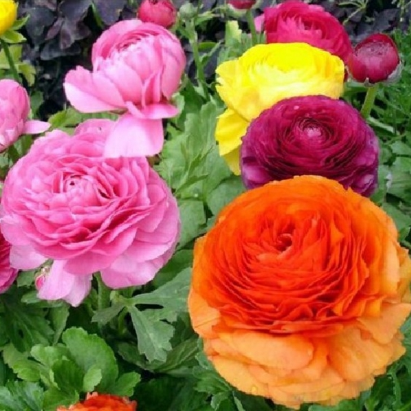 Renoncule des fleuristes