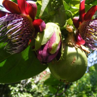 Passiflora Atala