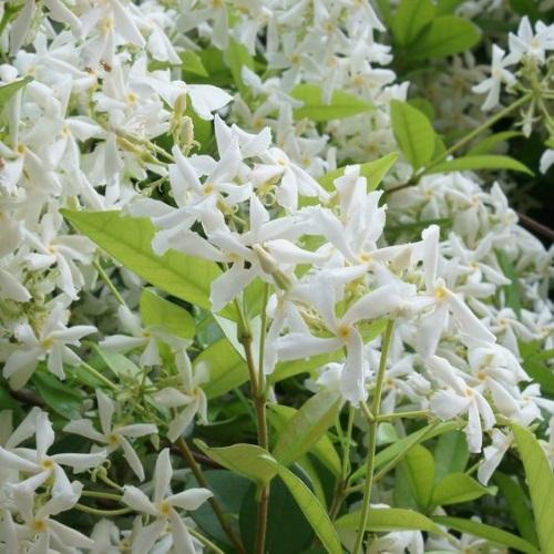 fleurs de Jasmin Grimpant