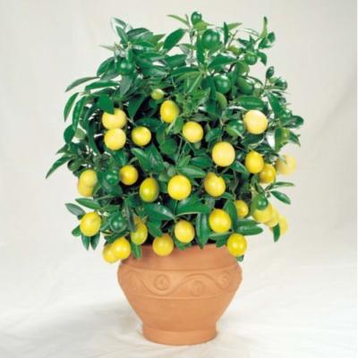 graines citronnier jaune