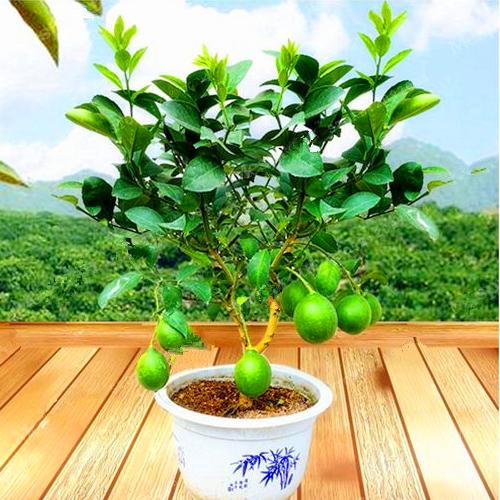 graines citronnier vert