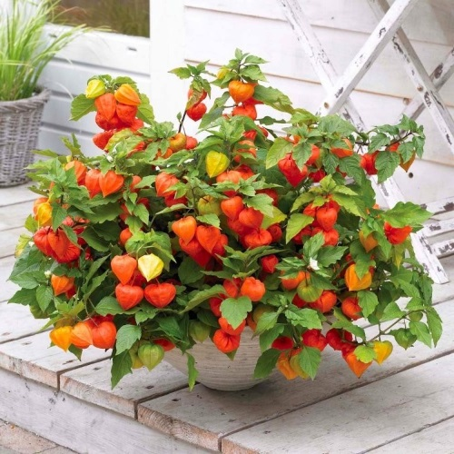 physalis-chinese-lanterns